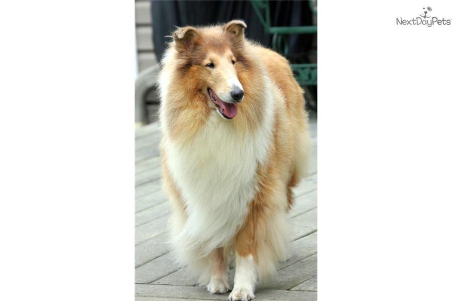 Golden Retriever Puppies Craigslist Inland Empire