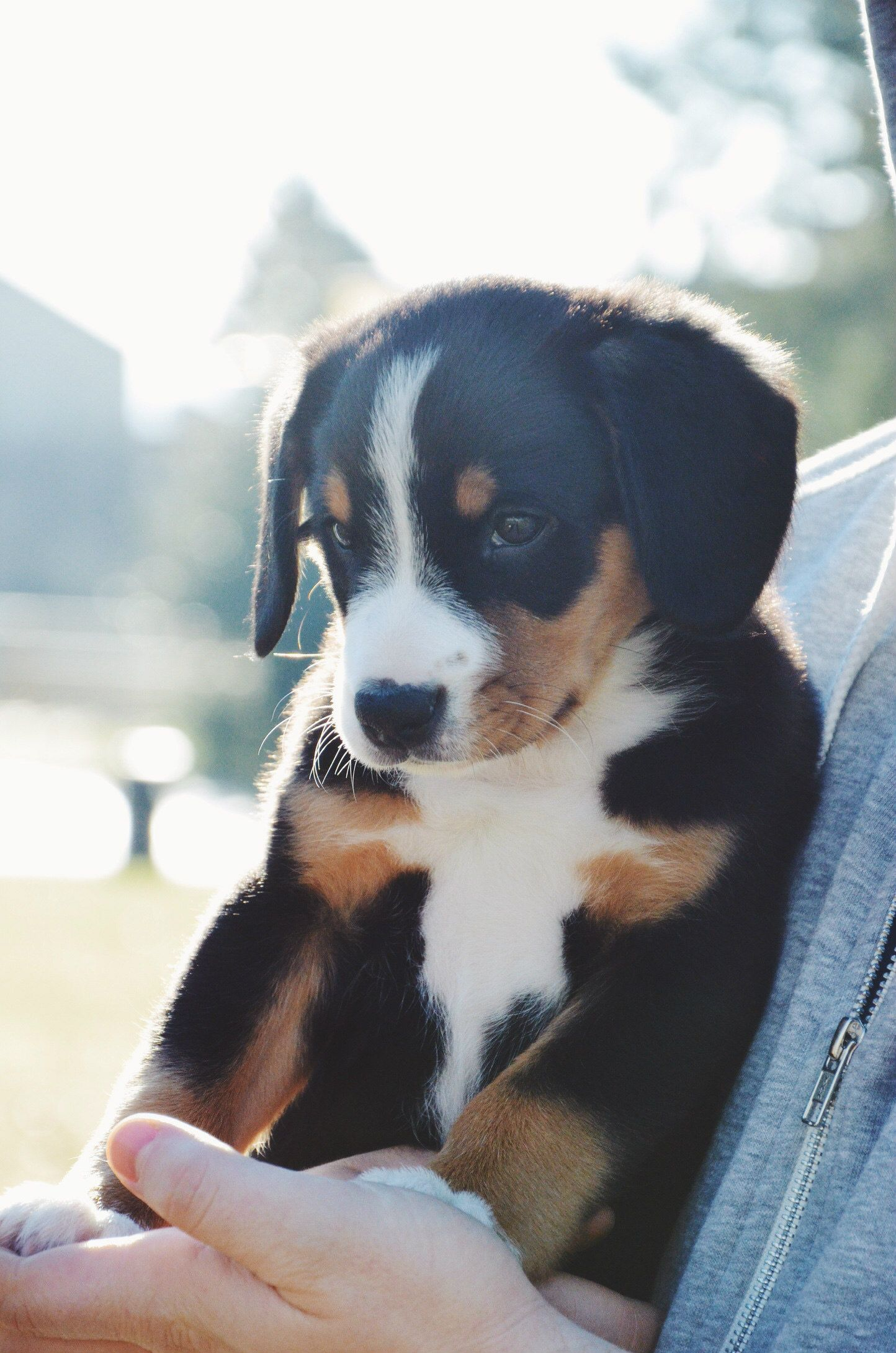 Mila The Entlebucher At 8 Weeks Old Insta Mypupmila