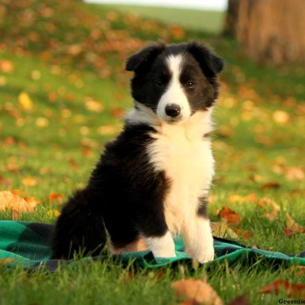Border Collie Puppies For Sale Collie Puppies For Sale Border