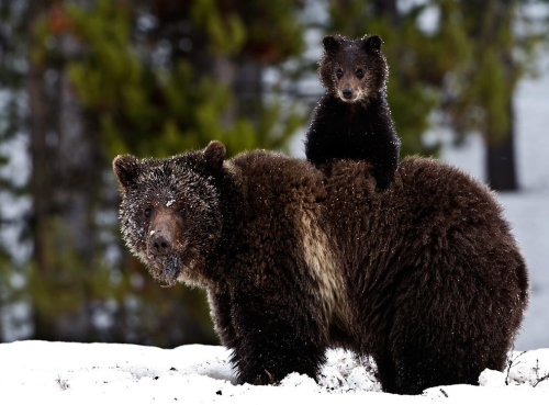Grizzly Bear and Cub, Yellowstone ~ Trish Carney