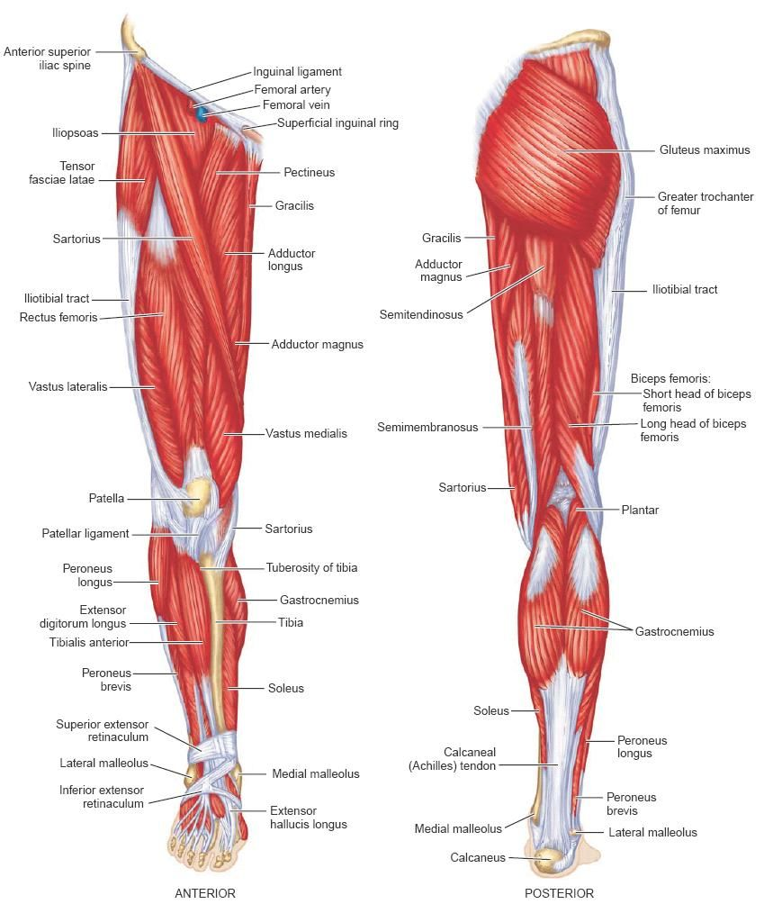 The Leg into the Hip | The Human Body | Pinterest | Muscles and ...