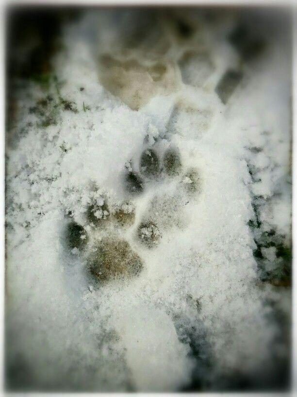 Harper #footprint #pug