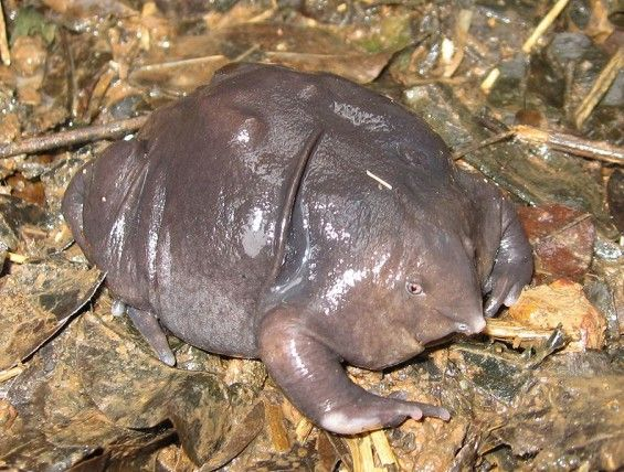 """""""Not every endangered animal can be a panda. Some of them happen to be purple frogs (above) or the wormish amphibian known as sagalla caecilians. So who looks out for the less attractive and less popular endangered species? The group known as Evolutionarily Distinct and Globally Endangered (EDGE)."""