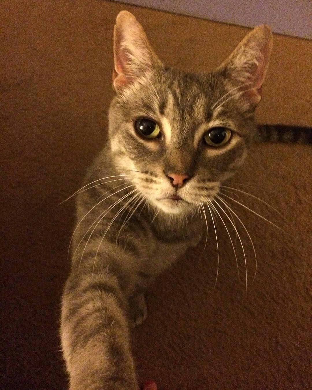 My Sweet Mr Herbie Give Me More Pets He Says Cat Mycat Tabbycat Meow Prettykitty Pretty Cats Cats Tabby Cat