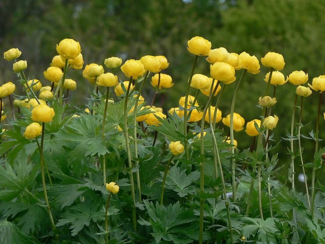 This Flower Gold Ball Grows In Lappland I Have Some Of Them In My
