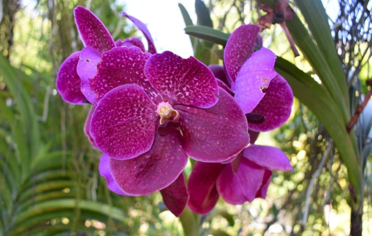 Vanda Orchid Flower Orchid Flower Beautiful Orchids Orchids