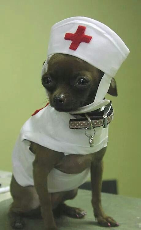 Oh My Doesn T Get Much Better Than A Chihuahua Nurse 3