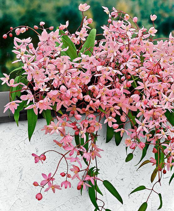 odorante, beaucoup de petites fleurs, tardive, sans taille ...