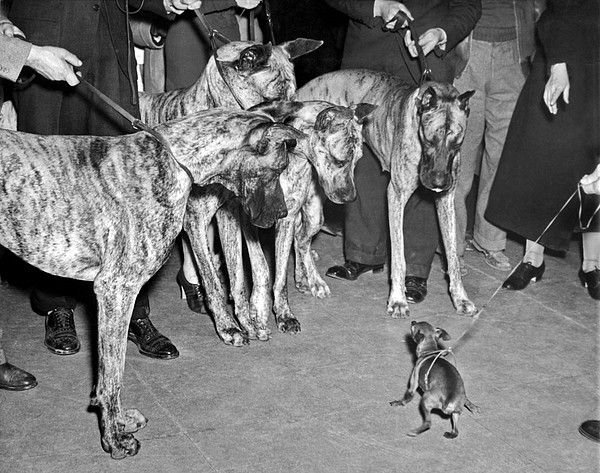 New York New York 1937 A Miniature Pinscher Does Its Best To Look
