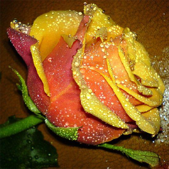 Rosa Amarilla Anaranjada con Gotitas de Rocio #roses #rosas #flowers ...