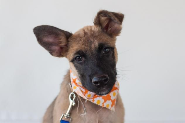 Adopt Lola On Petfinder German Shepherd Dogs Shepherd Dog Mix Puppy Adoption