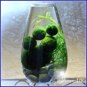 All sizes marimo moss balls cladophora live aquarium plant for Betta fish moss ball