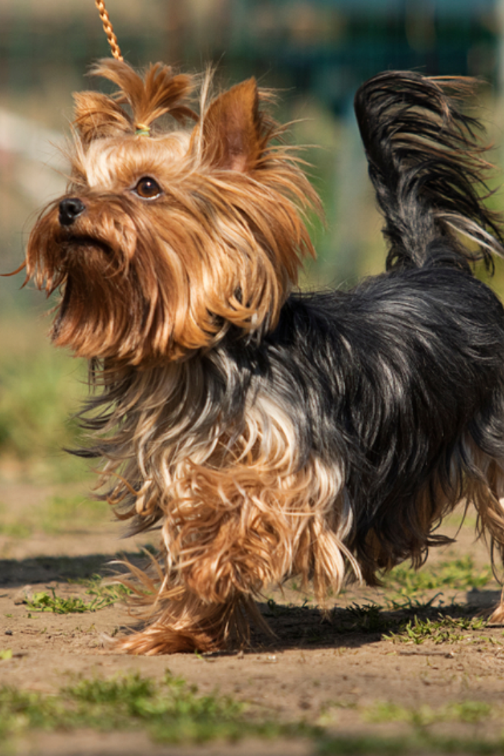 341 Crossbreed Dogs That Will Make You Fall In Love With Mutts Yorkie Mix Dog Crossbreeds Yorkie