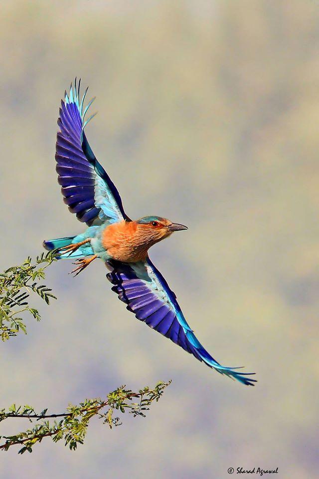 Indian Roller Pajaros Volando Aves Volando Imagenes De Pajaro