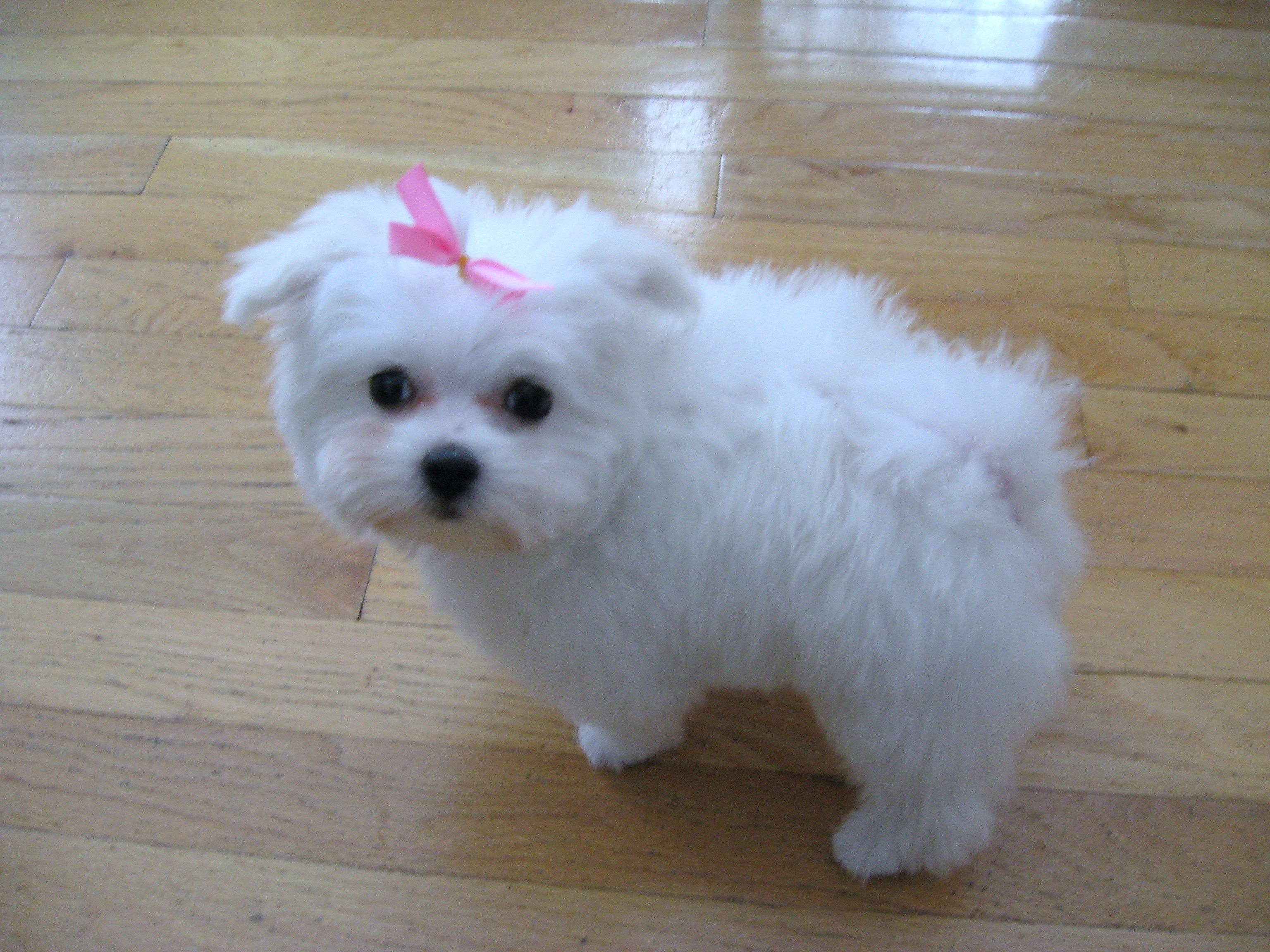 About Missy Maltese Dogs Maltese Puppies For Sale Teacup