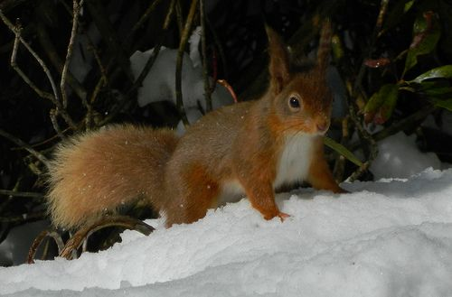 Red Squirrel in this weekends heavy snowfall.