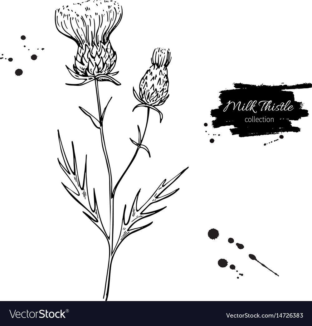 Milk thistle flower vector drawing set isolated wild plant and