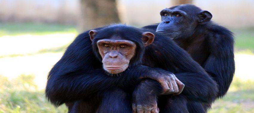 El experimento con primates y humanos para comprender la  evolución del lenguaje
