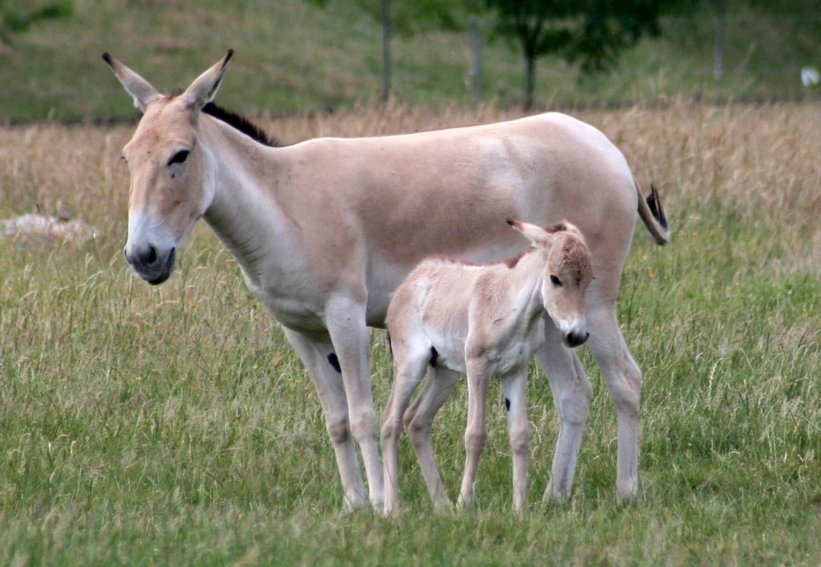 Onager Onager Foal Whipsnade 3rd July 2010 Was Widespread In