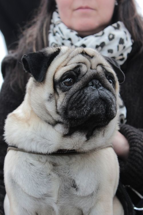 Pin By Join The Pugs On Join The Pugs Friends Cute Pugs Pugs