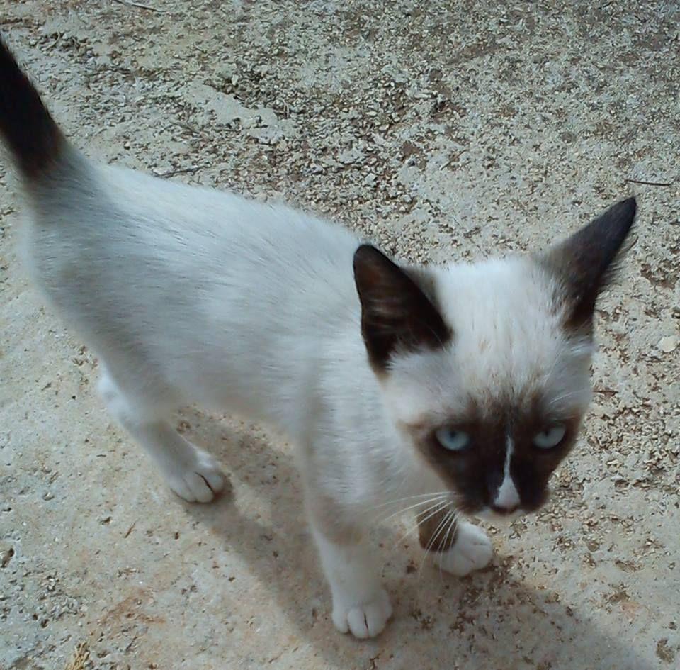 Jack, summer 2013 Snowshoe cat, Cats meow, Cats