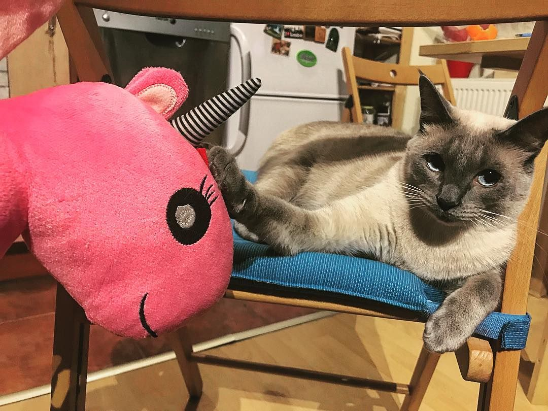 Cirill The Siamese On Instagram The Intruder Is Really Dumb I Have No Business With Him Catlife Catlifestyle Kittenli Cat Life Cat Items Kitten