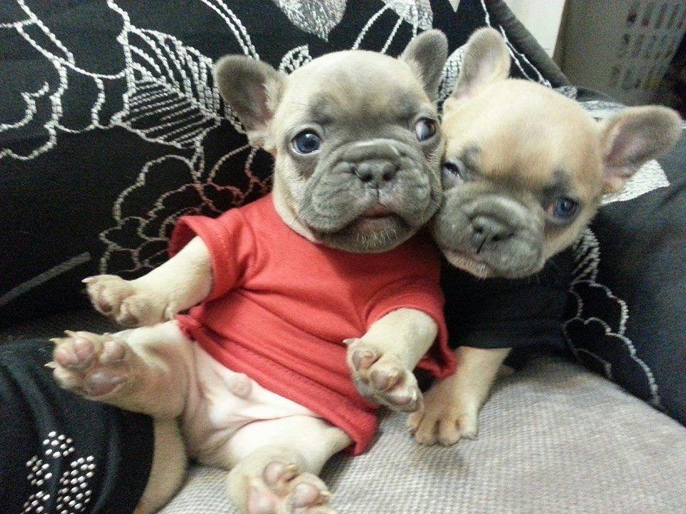 French Bulldog Puppies Bulldog Cute French Bulldog Puppies And