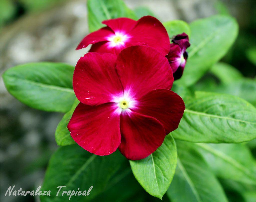 Variedad rojo vino de la flor vicaria, Vinca rosea o Catharanthus ...