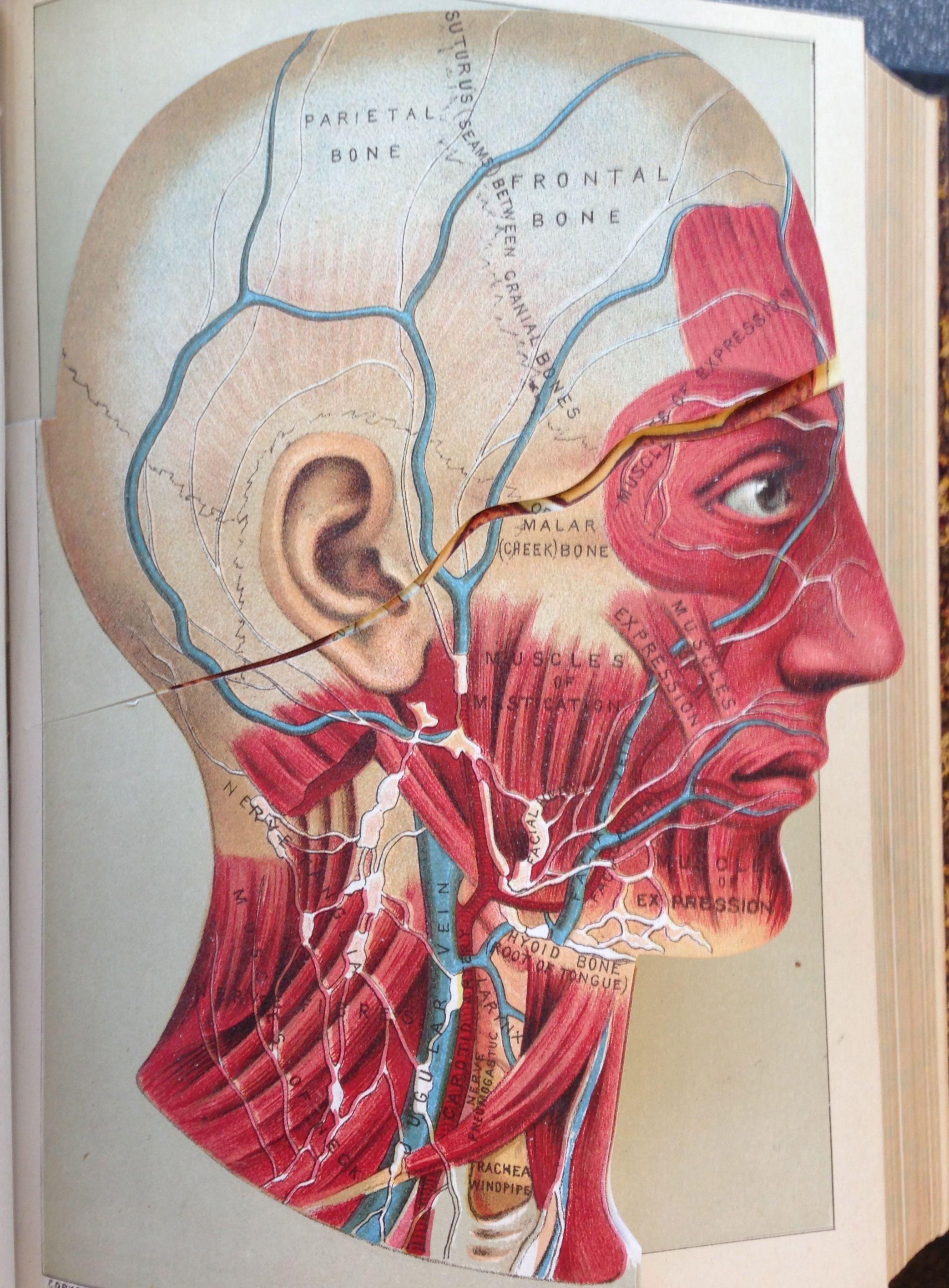 Chromolithographed anatomical flaps, circa 1885