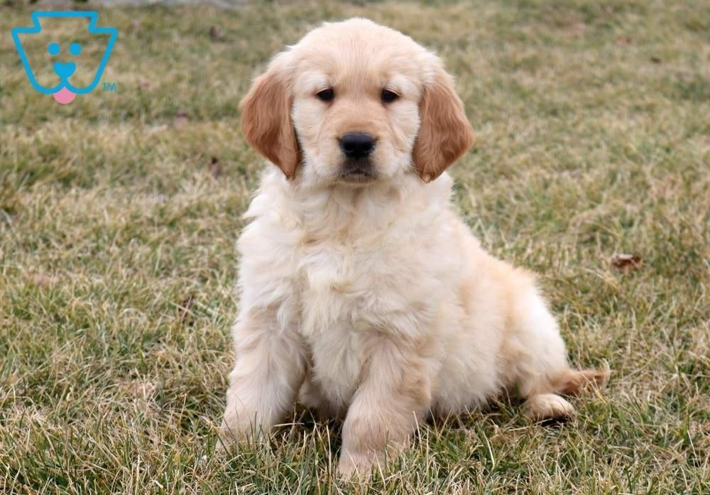 Dodger Golden Retriever Puppy For Sale Keystone Puppies