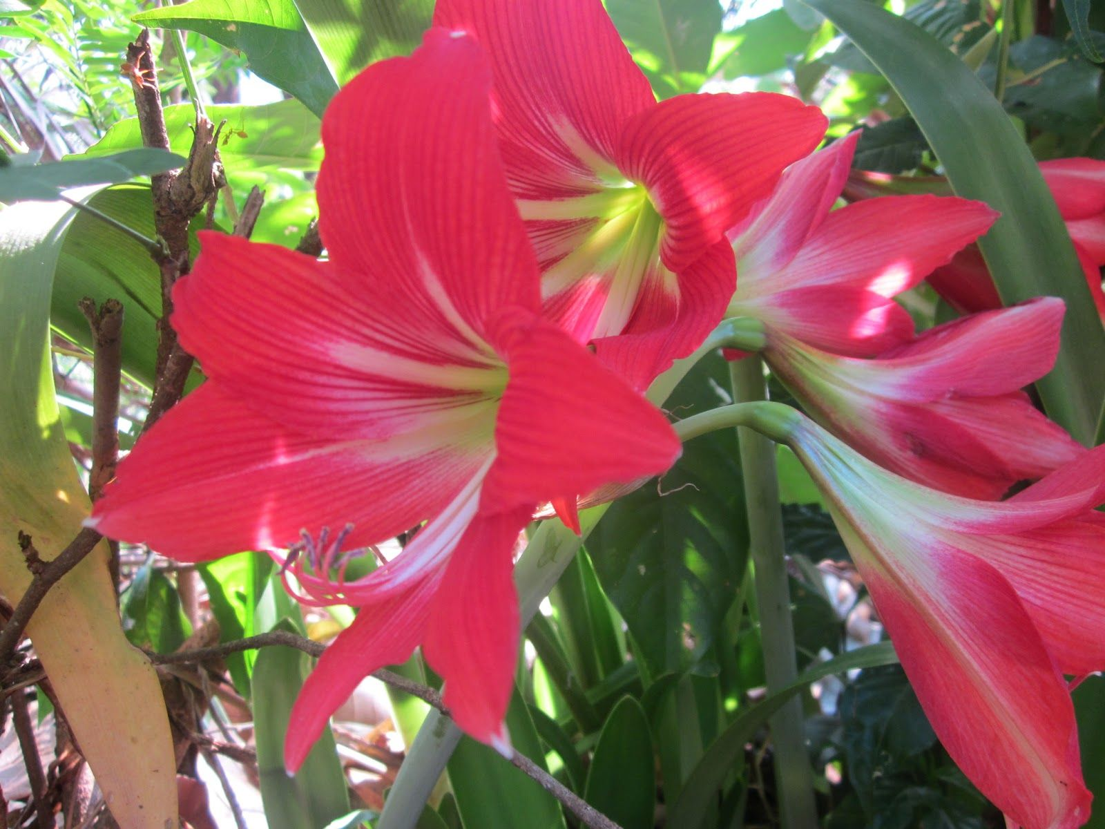lily flower in latin