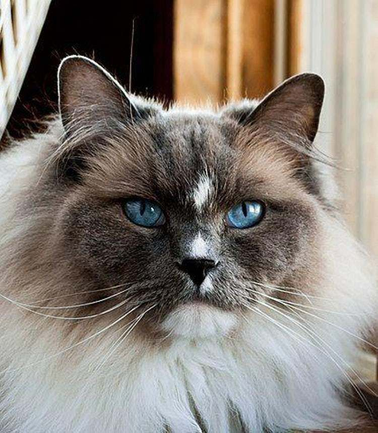 Best Long Haired Cat Breeds List of Long Hair Cats in 2020