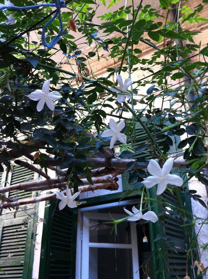 Jasmine Flower Images