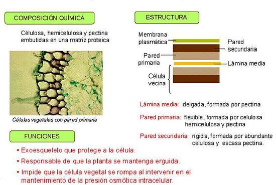 La Pared Celular Es Característica De Las Células Vegetales