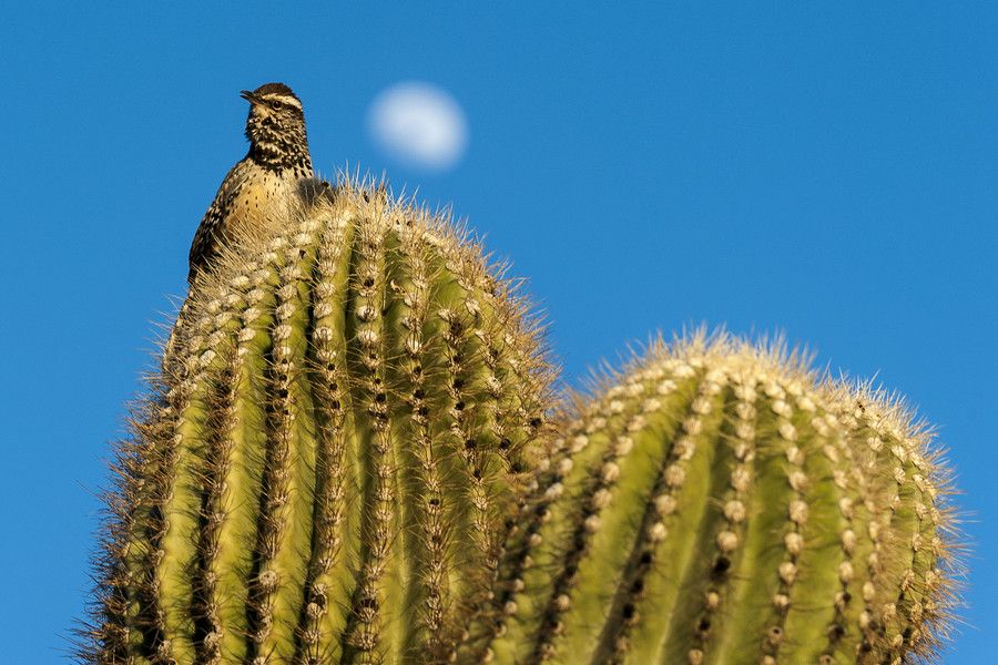 Bird on a Saguaro Cactus in Scottsdale, AZ - February 10, 2014 by Rich Cruse on 500px