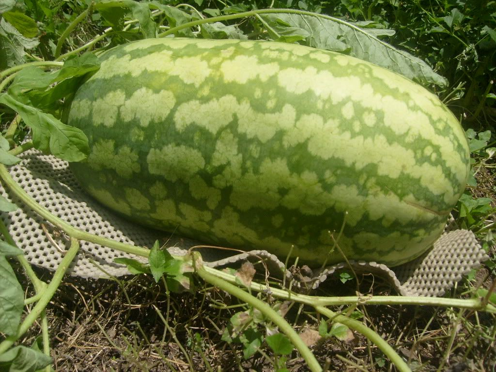 How to grow watermelons gardens garden ideas and edible garden how to grow watermelons nvjuhfo Choice Image