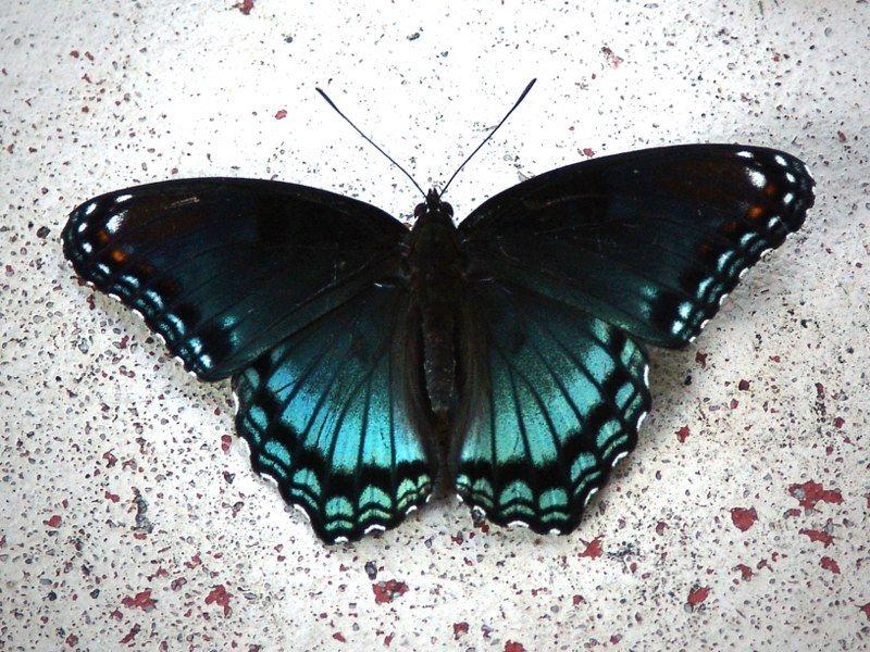 blue butterfly by ~midwestrain on deviantART