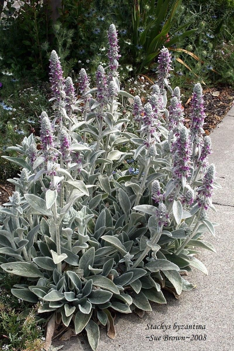 Lamb S Ear Divide Every 3 4 Years Shear Back Flowering Stems Close To Ground Level After They Ve Finished Bloom Lambs Ear Plant Deer Resistant Plants Plants