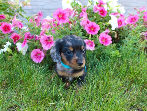 Puppy Finder Dachshund Dog Puppies Miniature Dachshunds