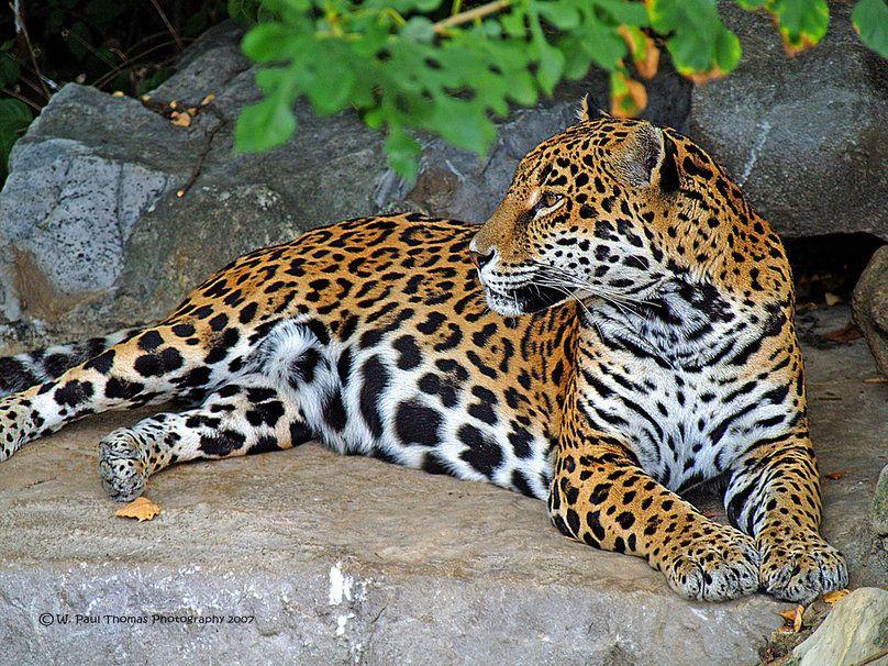 Animales Felino Leopardos Fondo De Pantalla Fondos De: Jaguar Contenta Fondo De Pantalla