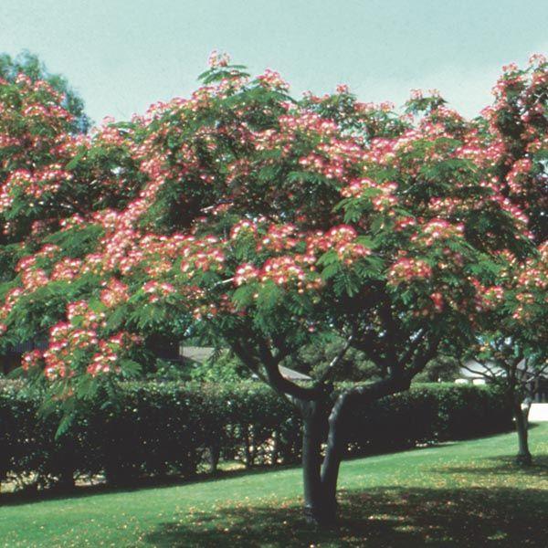 Albizia julibrissin silk tree yahoo image search results patio albizia julibrissin silk tree yahoo image search results mightylinksfo