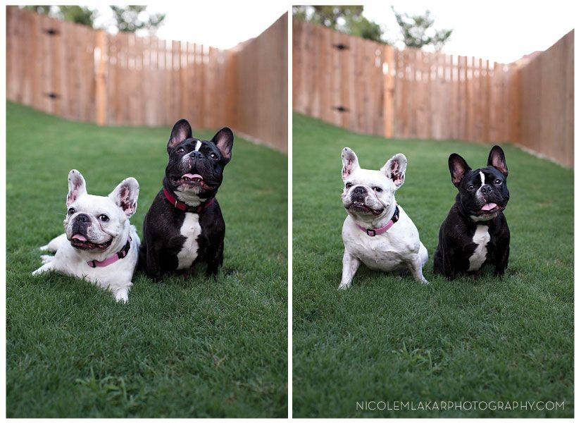 French Bulldogs Zoe And Rocco Austin Texas Dog Pet Photographer French Bulldog Bulldog Pet Photographer