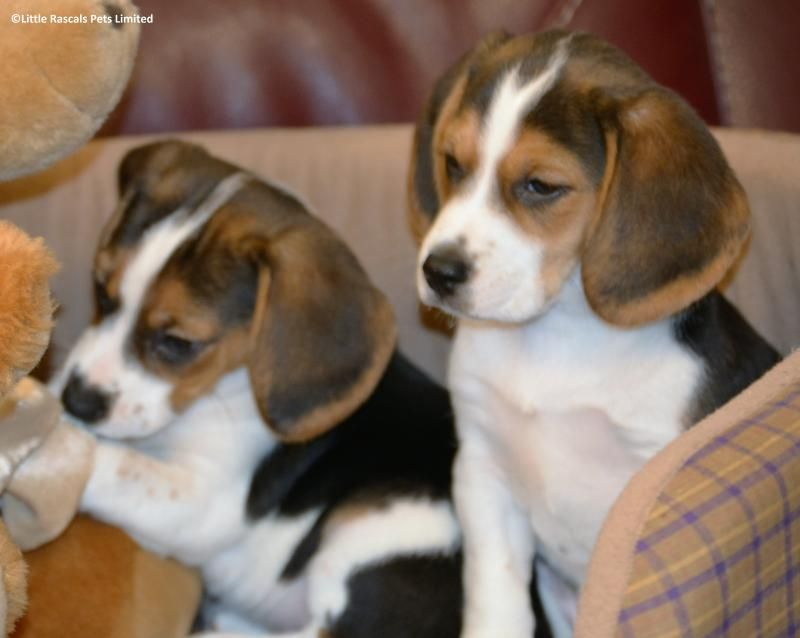 Tri Colour Beagle Boys And Girl Babies Pedigree Puppies For Sale