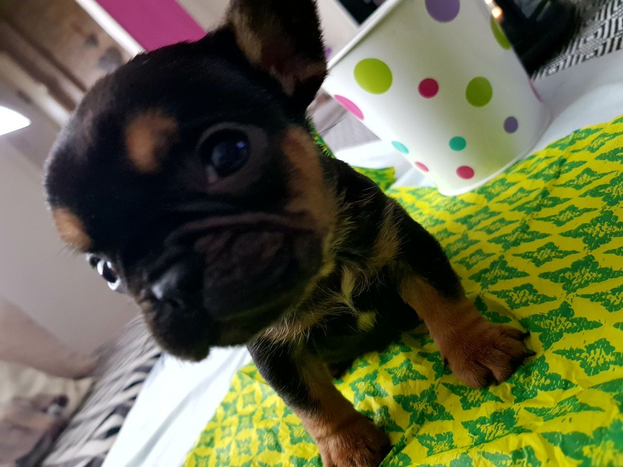 French bulldog pupies for sale Liverpool, Merseyside