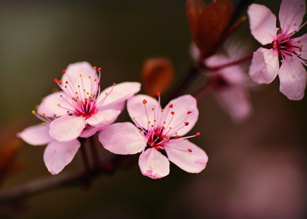 Cherry Blossoms Close Up Nature Poster Print Metal Posters Displate Cherry Blossom Wallpaper Cherry Blossom Art Cherry Blossom Flowers