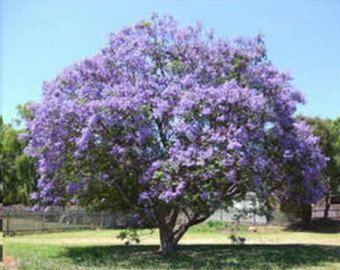 Impresionante árbol de Jacaranda   Etsy   Jacarandas, Árboles en flor,  Arbustos
