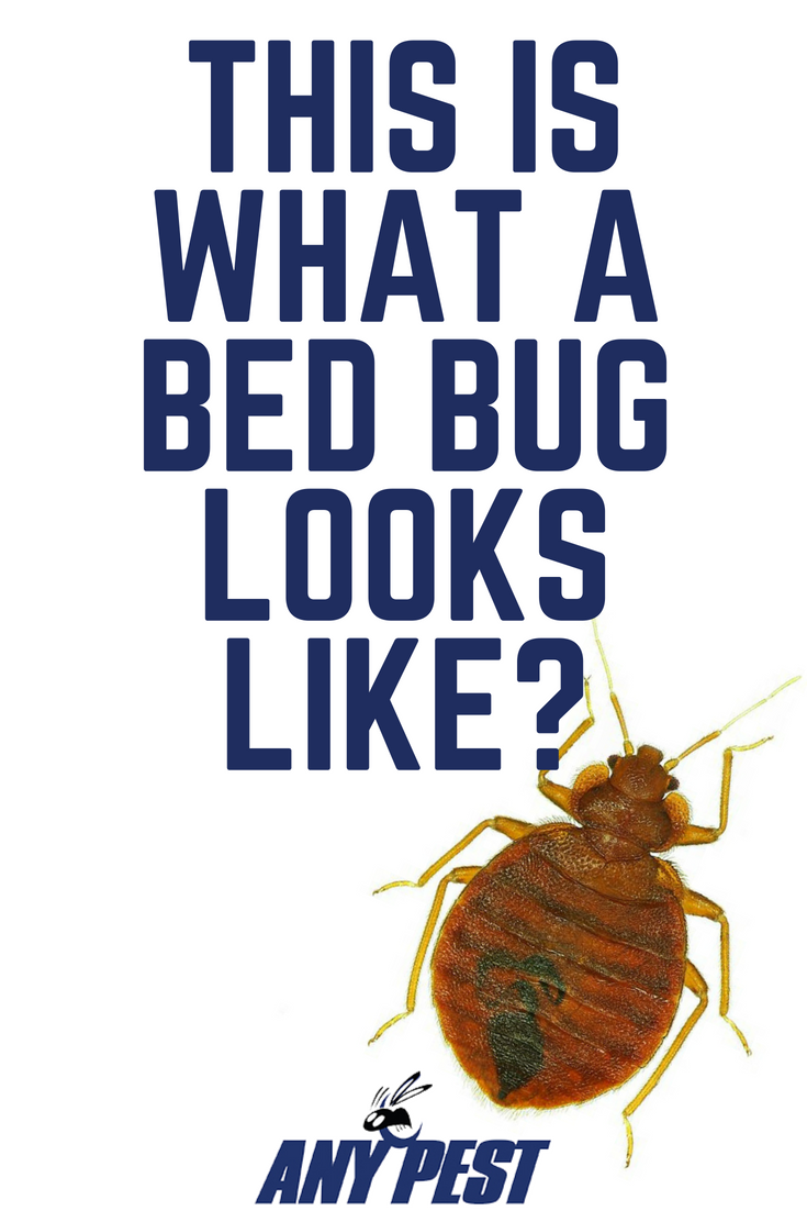 Bed Bugs What Are They and How to Get Rid of Them Bed