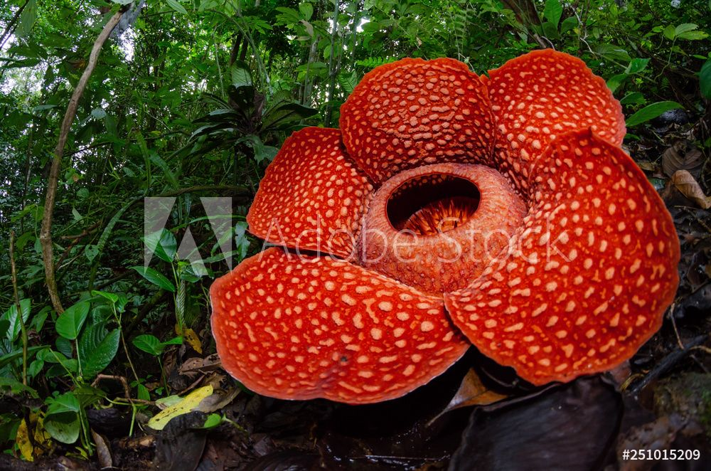 Rafflesia In 2020 Flowers Planting Flowers Large Flowers