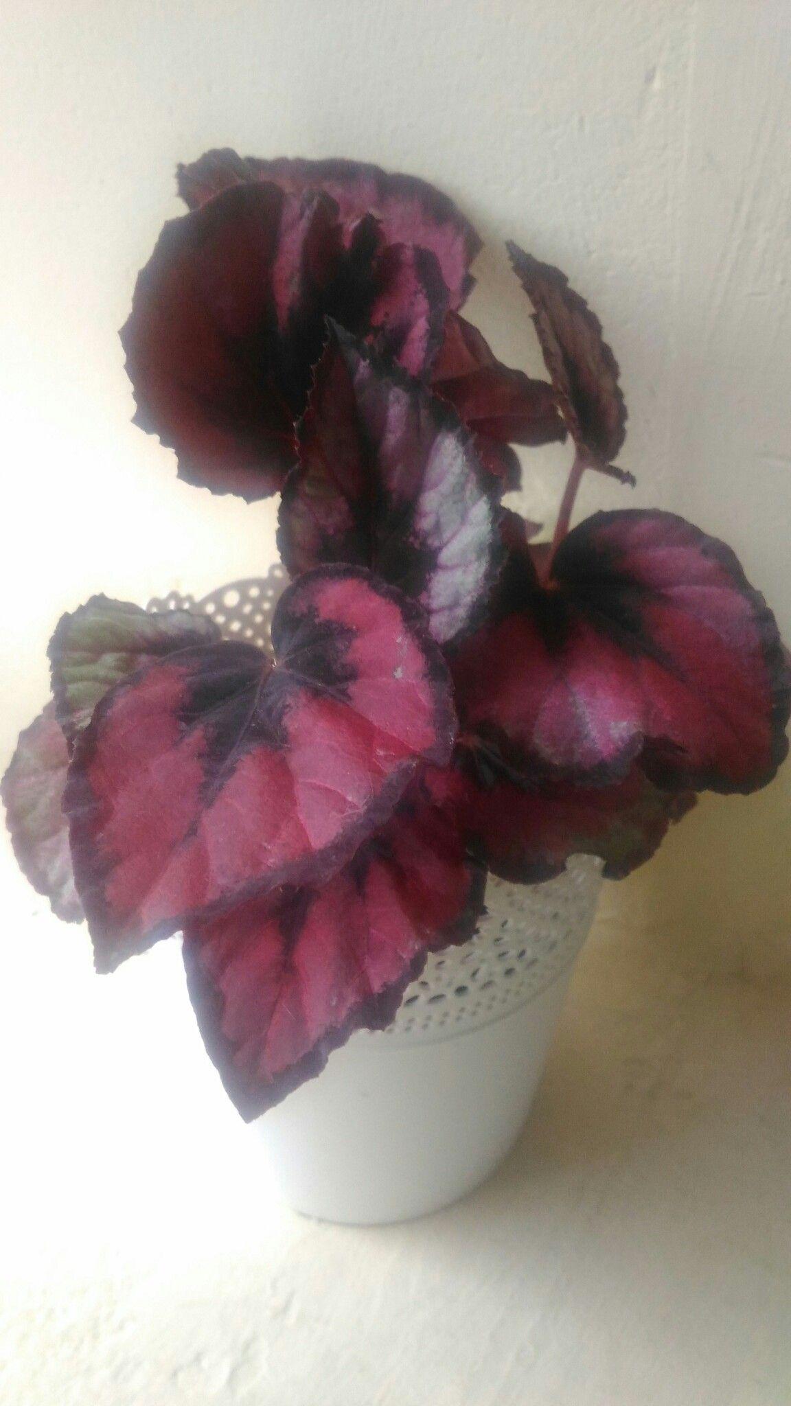 Begonia Rex Red Kiss Familia Begoniaceae Botanica