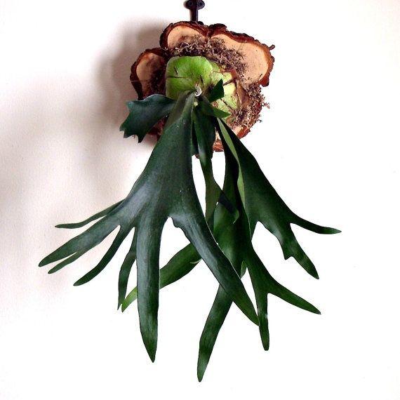 love staghorn ferns!